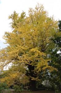 大山寺の枝垂銀杏