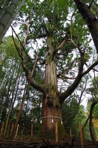 大山寺の大杉